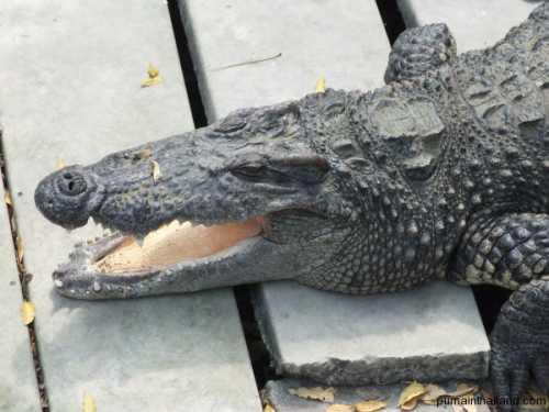 крокодилы в австралии: гребнистый, узкорылый