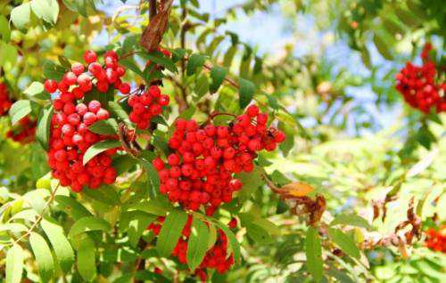 рябина черноплодная: лечебные свойства и противопоказания
